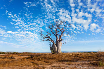 A lone Boab (Baobab) tree stands tall against a clear blue sky in the outback Australian town of Wyndham in far North Western Australia, Australia.
