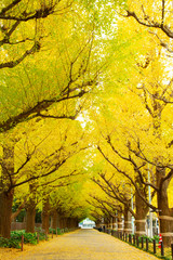 Rows of golden yellow ginkgo trees