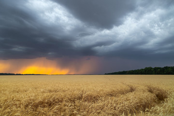Dark thunderclouds over a wheat field at sunset. The beginning of a hurricane in the state of Texas.