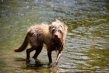 beautiful dog mix bathing in a river