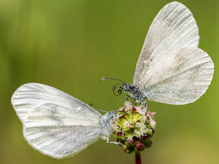 Two of a kind white wood butterfly