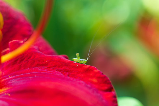 Tiny cute green grasshopper on a red flower