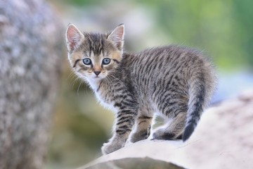 cute little tabby kitten. felis silvestris catus. kitten stands on trunkBlack and white photo.