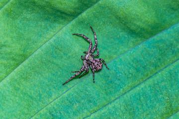 młody pająk krzyżak