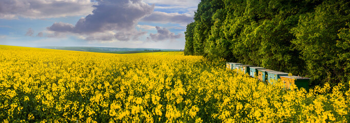 A panoramic view of a yellow field of rape and bee hives