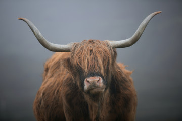 Portrait of a highland cow with big horns