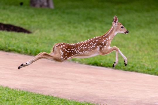 fawn whitetail deer
