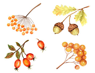 Beautiful bright Autumn Leaf seasonal, nature acorn, autumnal botanical isolated on a white background.
