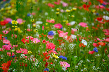 Obraz Natural background made of bright, colorful, vibrant selections of wildflowers on a spring meadow in British Columbia, Canada - fototapety do salonu