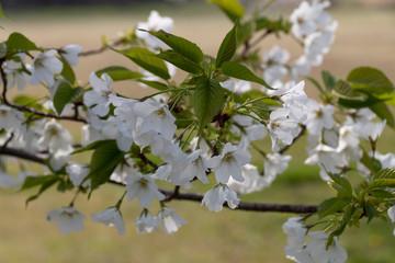 名護屋城の桜