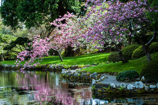 Blooming cherry trees near pond at Hatley castle Japanese garden, Victoria, British Columbia, Canada