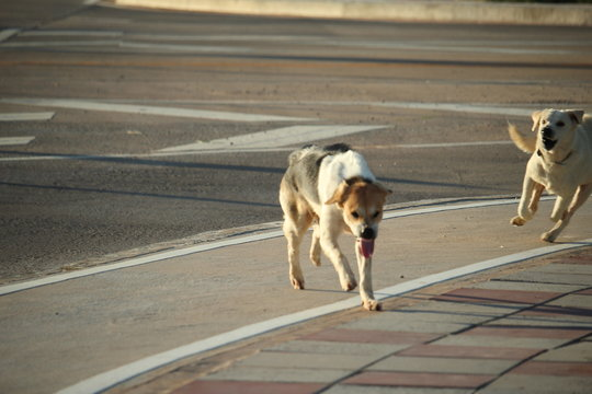 The aggressive dog is chasing a cowardly dog in the city streets | Thai dogs