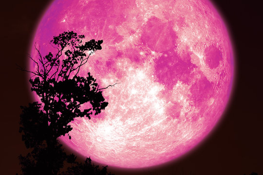super pink sturgeon moon on red night sky back silhouette trees