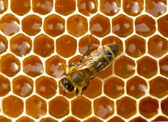 Foto op Canvas Bee One bee on honeycombs