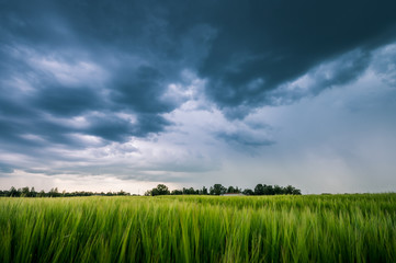 Impressive thunderstorm over a barley field in summer time. Dark storm clouds covering the rural landscape. Intense rain shower in distance. Motion created by windy weather.  Fotoväggar