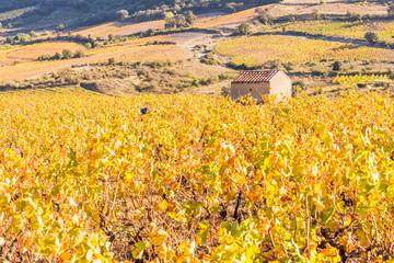 Vignes des Côtes Catalanes sous la canicule