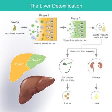 The liver detoxification.