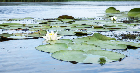 Wall Murals Water lilies field of white water lilies on the lake