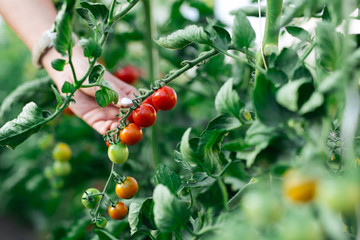 Woman hand picking ripe red cherry tomatoes in green house farm
