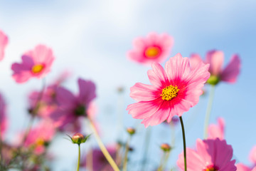 Foto auf Acrylglas Kosmos Closeup beautiful pink cosmos flower in the field with sunlight at morning, selective focus