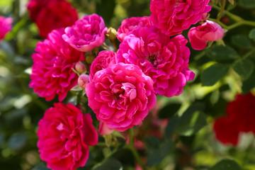 climbing rose in bloom close-up, summer garden
