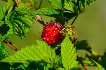 Wild salmonberry in Ketchikan, Alaska