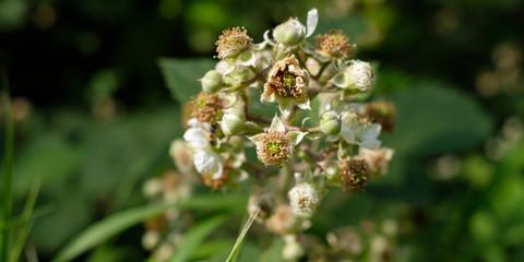 Brombeere Blüte und Knospe