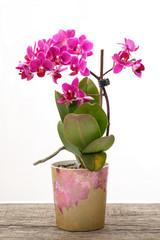 Phaelenopsis Orchidee lila Blüten