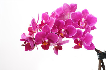 Orchideenblüten lila violett