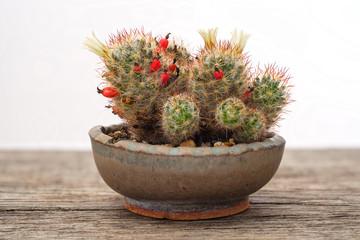 Kaktus Mammillaria Blüte gelb