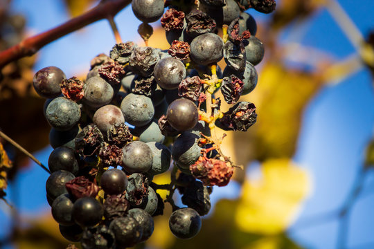 After harvesting in October, some grapes remain on the vine and dried out