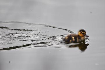 mallard ducking swimming across lake