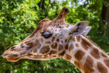 Zoo de la Flèche - Girafe