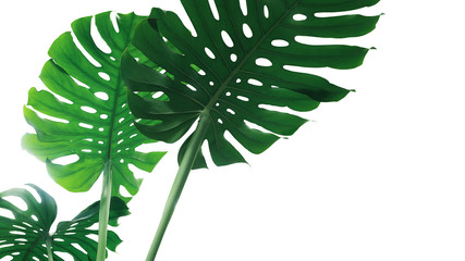Wall Mural - Green leave of Monstera plant or split-leaf philodendron (Monstera deliciosa) the tropical foliage houseplant isolated on white background, clipping path included.