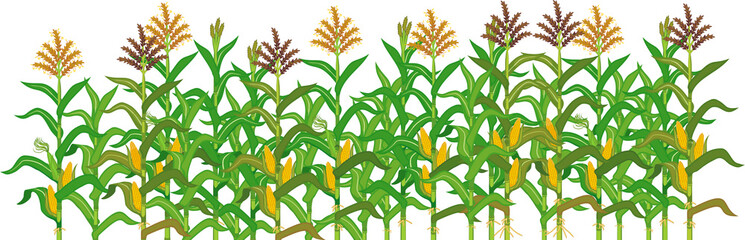 Wall Mural - Agriculture plant border with cornfield isolated on white background. Group of corn (maize) plants with green leaves and ripe yellow corn ear