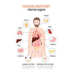 Anatomy of human body. internal organs of male.