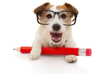 Back to school  concept. Happy Dog with a giant red pencil ang glassesl. Isolated on white background.