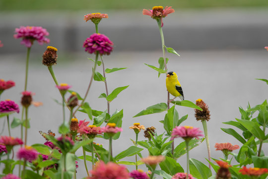 A yellow and black finch bird perches among purple, red, orange, and pink zinnia flowers