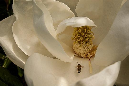 Honey bee and magnolia blossom, near Williamsburg, Va.