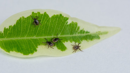 Group of crawling deer ticks on green leaf, white background. Ixodes ricinus. Infectious parasitic mites. Dangerous insect in detail. Encephalitis, Lyme disease, babesiosis and ehrlichiosis infection.