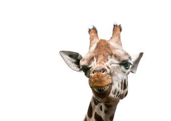 A close up photo of a giraffe isolated on white background