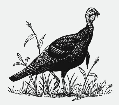 Male wild turkey, meleagris gallopavo walking through grasses. Illustration after an antique engraving from the early 20th century