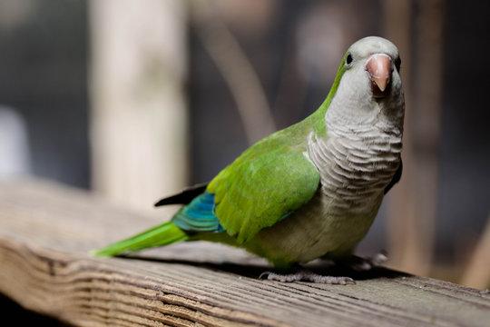 Monk Parrot