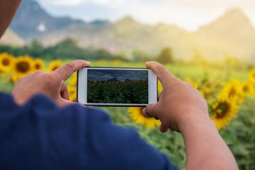 hand using phone taking photo beauty sunflower field.