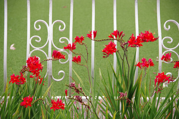 7f7302212 Red blossoming Kangaroo Paw plants in front of a decorative white iron fence