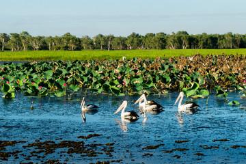 Flock of wild black tail pelicans in the wetland (Kakadu National Park, Australia)