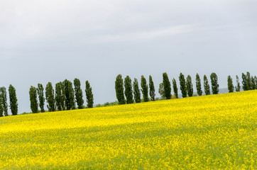 Yellow fields of canola Rapeseed with tall thin Cypress Trees