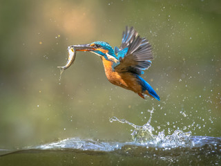 Common European Kingfisher Flying with fish catch Wall mural