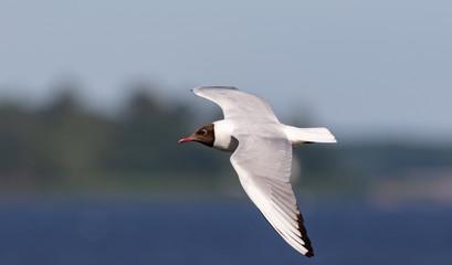 Black-headed gull (Chroicocephalus ridibundus) in flight Fotoväggar