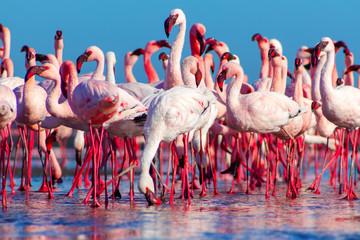 african pink flamingos walking on the blue salt lake of Namibia Wall mural